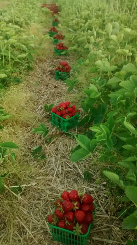Strawberries on Chris Housers farm